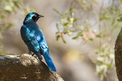 Burchell's Glossy-Starling in Kruger National park Stock Photography
