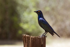 Burchell s Glossy-Starling in Kruger National park Stock Image