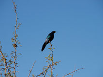 Burchell's glossy-starling Stock Images