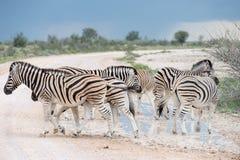 Burchell`s Plain`s zebra Stock Image