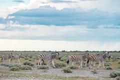 Burchell`s Plain`s zebra Royalty Free Stock Photos