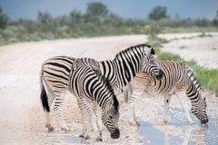 Burchell`s Plain`s zebra Royalty Free Stock Photo