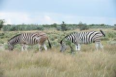 Burchell`s Plain`s zebra Stock Photos