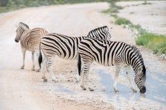 Burchell`s Plain`s zebra Royalty Free Stock Image
