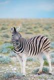 Burchell`s Plain`s zebra Stock Photo