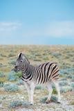 Burchell`s Plain`s zebra Royalty Free Stock Photography
