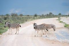 Burchell`s Plain`s zebra Stock Images