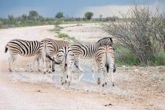 Burchell`s Plain`s zebra Royalty Free Stock Images