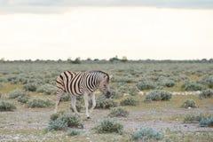 Burchell`s Plain`s zebra Stock Photography