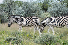Burchell ` s ` s Prosta zebra obraz stock