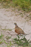 Burchell's Sandgrouse Royalty Free Stock Photography