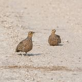 Burchell`s Sandgrouse. Female Burchell`s Sandgrouse in Namibian savanna royalty free stock images