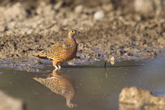 Burchell's Sandgrouse standing in water Royalty Free Stock Photo
