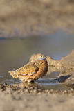 Burchell's Sandgrouse standing in water Royalty Free Stock Images