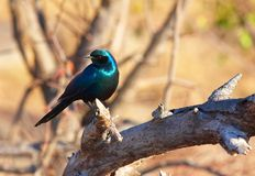 Burchell's Starling Stock Photo