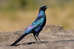 Burchell's starling Stock Photography