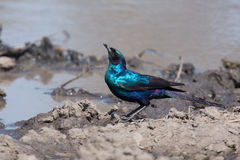 Burchell's starling move around in nature to find food Stock Photography