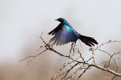 Burchell's starling take off from thorny tree Stock Images