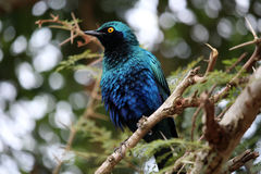 Burchell`s starling on the tree branch.  Kruger National Park. Stock Photo