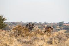 3 Burchell ` s stoi zebra w obszarach trawiastych w Kalahari pustyni Obrazy Stock