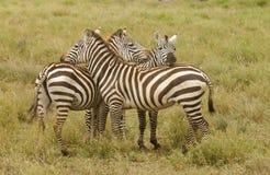 Burchell-` s Zebra ` s Stockbilder
