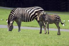 Burchell's Zebra stock photography