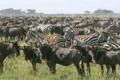 Burchell's zebra Stock Photos