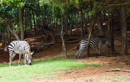 Burchell's Zebra Stock Photos
