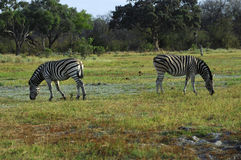 Burchell's Zebra Stock Photo