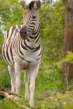 Burchell's Zebra. A watchful Burchell's Zebra on the lookout for danger royalty free stock image