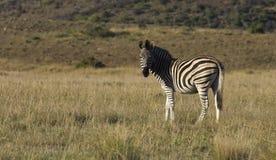 Burchell's Zebra Royalty Free Stock Photo
