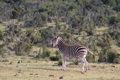 Burchell's Zebra Stock Images