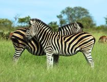 Burchell's Zebra. Burchells Zebra (Equus quagga burchelli) in the Kruger Park, South Africa Royalty Free Stock Photos