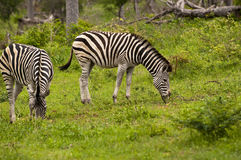 Burchell's Zebra Royalty Free Stock Photos