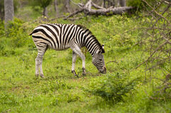 Burchell's Zebra Stock Photography