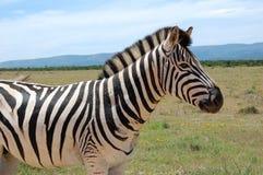 A Burchell`s Zebra in Addo Elephant National Park. A Burchell`s Zebra on a grassy plain at Addo Elephant National Park, Eastern Cape, South Africa stock photography