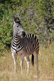 Burchell's Zebra in Africa Stock Photo