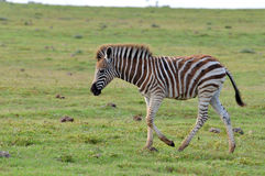 Burchell's Zebra in Africa Stock Image