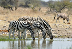 Burchell's Zebra in Africa Royalty Free Stock Photos
