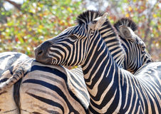 Burchells Zebra in Africa Royalty Free Stock Images