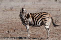 Burchell's Zebra in the African sunlight. A Burchell's (Plains) Zebra on the African plains stock photos