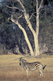 Burchell's zebra, Botswana. Royalty Free Stock Photo