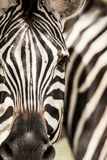 Burchell\ 's Zebra de zebra, van Burchell \ 's, Equus-quaggaburchellii royalty-vrije stock afbeelding