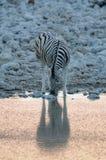 Burchell`s zebra drink on a waterhole, etosha nationalpark, namibia. Burchell`s zebras drink on a waterhole, etosha nationalpark, namibia, equus burchelli Stock Image
