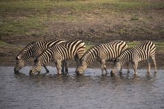 Burchell`s zebra drinking in a row at the chore river. In Botswana royalty free stock photo