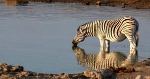 Zebra in Etosha Namibia wildlife safari. Burchell`s zebra drinking from waterhole with nice reflection in Etosha national Park, Namibia wildlife wildlife safari stock footage