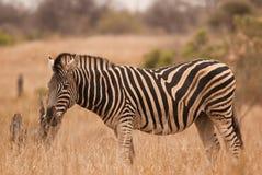 Burchells Zebra. Wild Burchells Zebra in dry savannah Stock Images