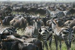 Burchell's zebra (Equus burchelli). Zebra (Equus burchelli) in the great migration Stock Images