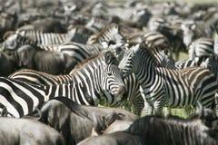 Burchell's zebra (Equus burchelli) Royalty Free Stock Image