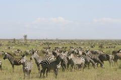 Burchell's zebra (Equus burchelli). Zebra (Equus burchelli) in the great migration Royalty Free Stock Photos